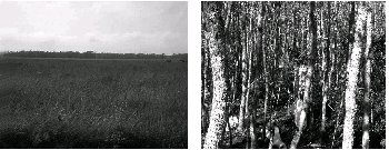 Coastal prairie kept free of Sapium by annual mowing (left). An adjacent area is a Sapium forest 25 years after mowing was stopped (right).