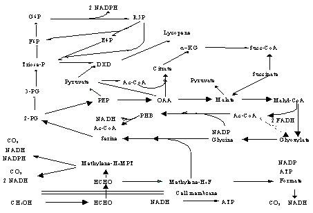 Figure 1. Predicted central metabolic pathways in M. extorquens AM1. Large arrows = major pathways.