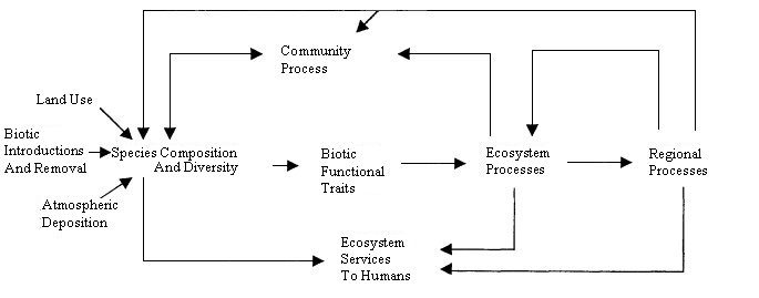 Figure 1. Linkages involving species composition and diversity and ecosystem processes. Ecosystem processes include productivity and nutrient cycling. Regional processes include nutrient fluxes from terrestrial to aquatic systems. Community processes include competition and predation. Ecosystem services are the benefits derived by humans from ecological processes. Slightly modified from Chapin et al. 1997.